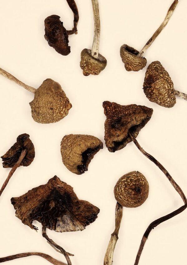 Psilocybe semilanceatas